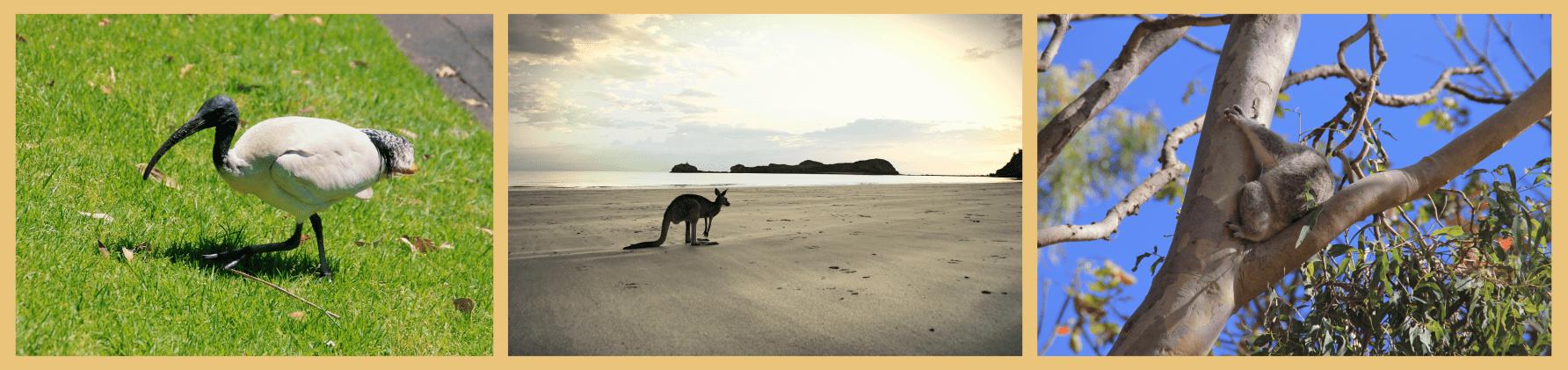Australien Tierwelt Koala Känguru