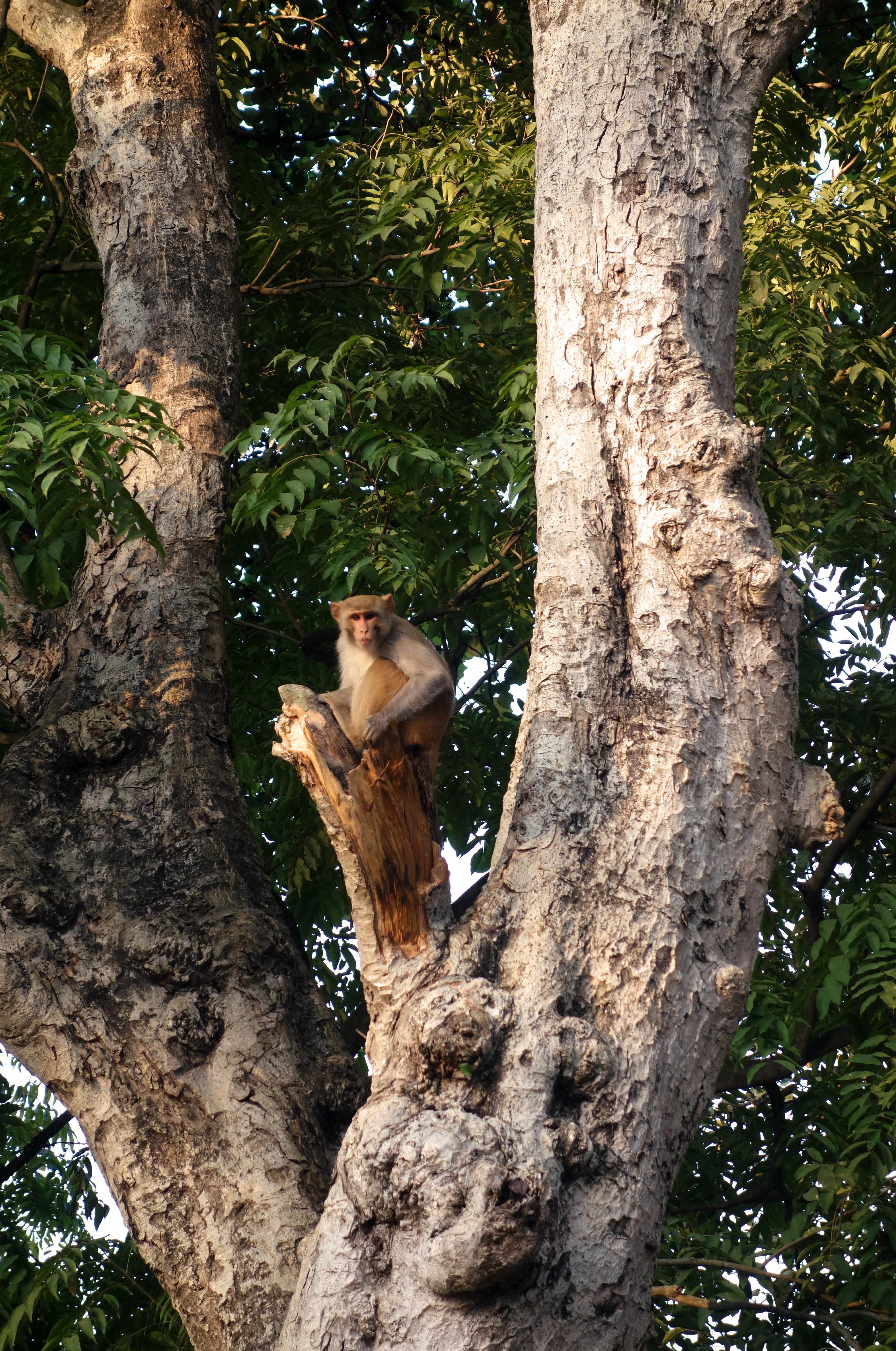 Nepal Bardia Nationalpark Affe