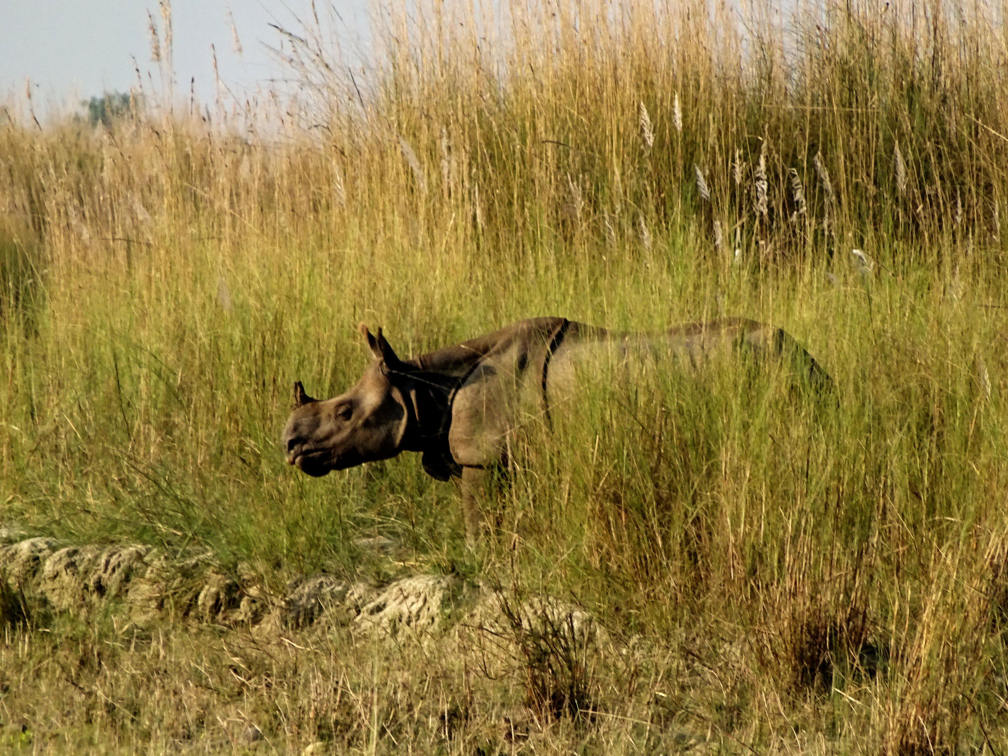 Nepal Bardia Nationalpark Nashorn