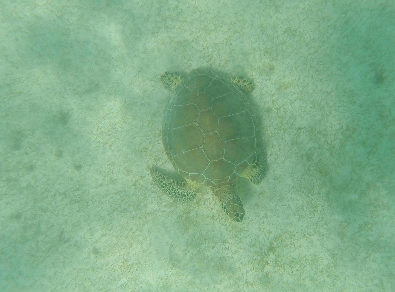 Mexiko Akumal Schildkröte über Seegras