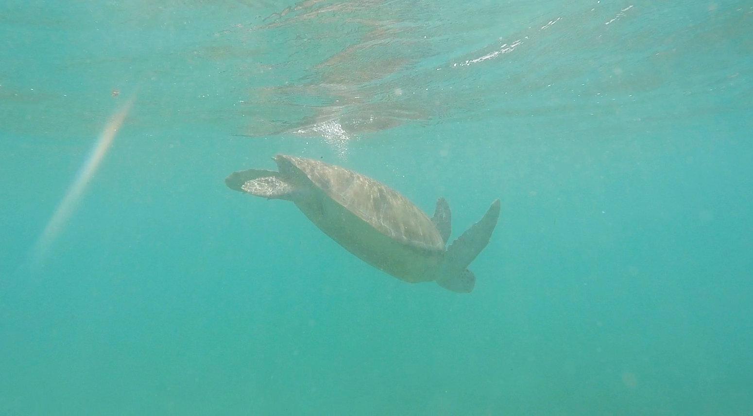 Mexiko Akumal Schildkröte taucht ab