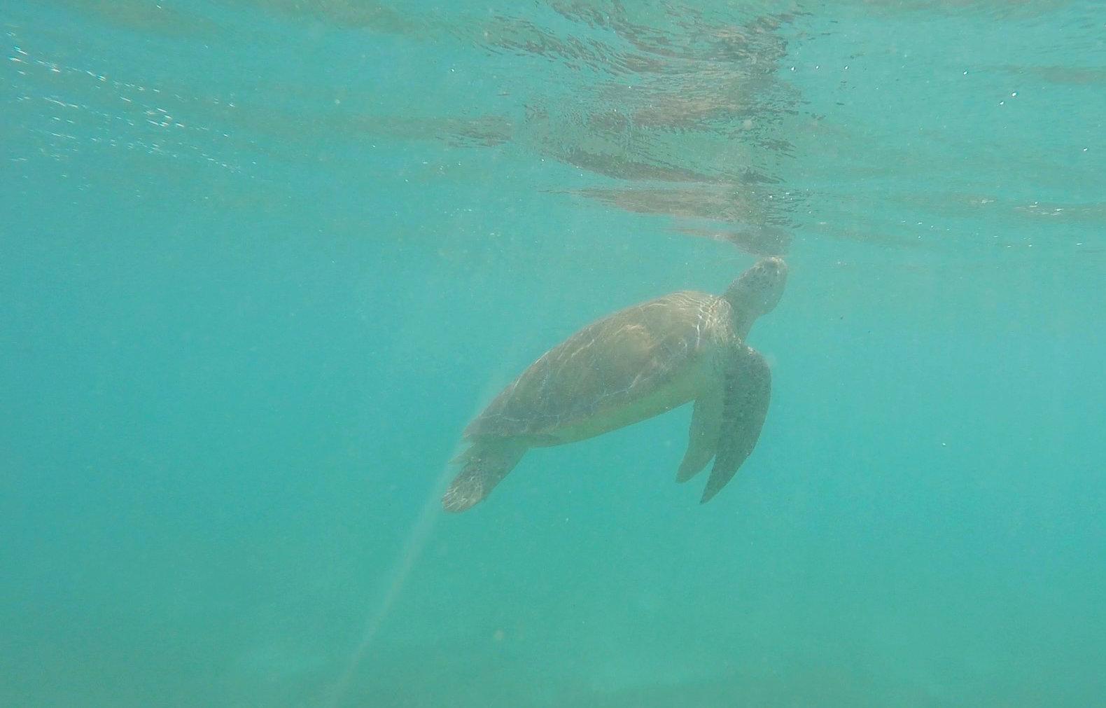 Mexiko Akumal Schildkröte taucht auf