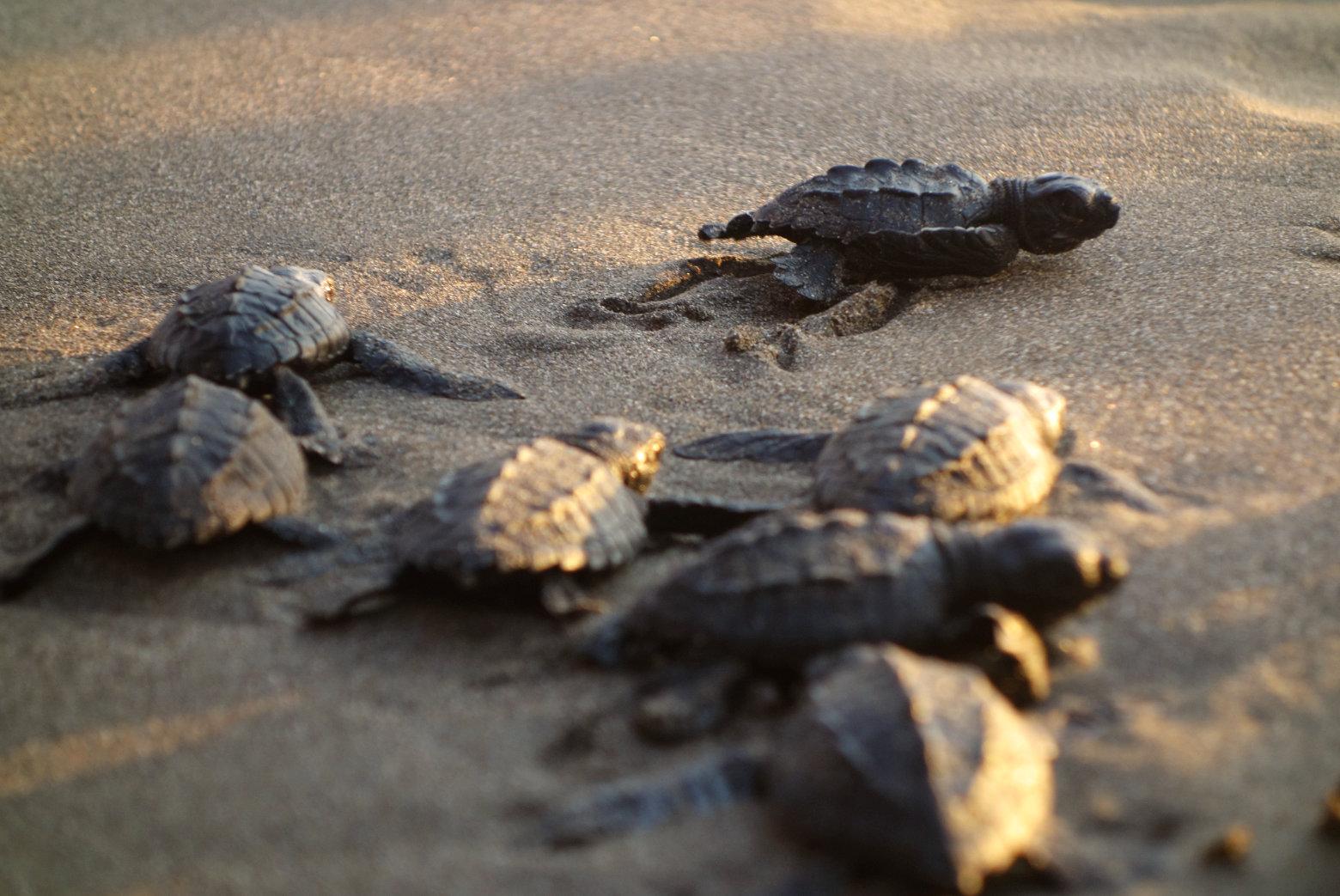 Nicaragua Jiquilillo Baby Schildkröten