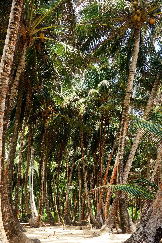 Nicaragua Little Corn Island Palmenwald