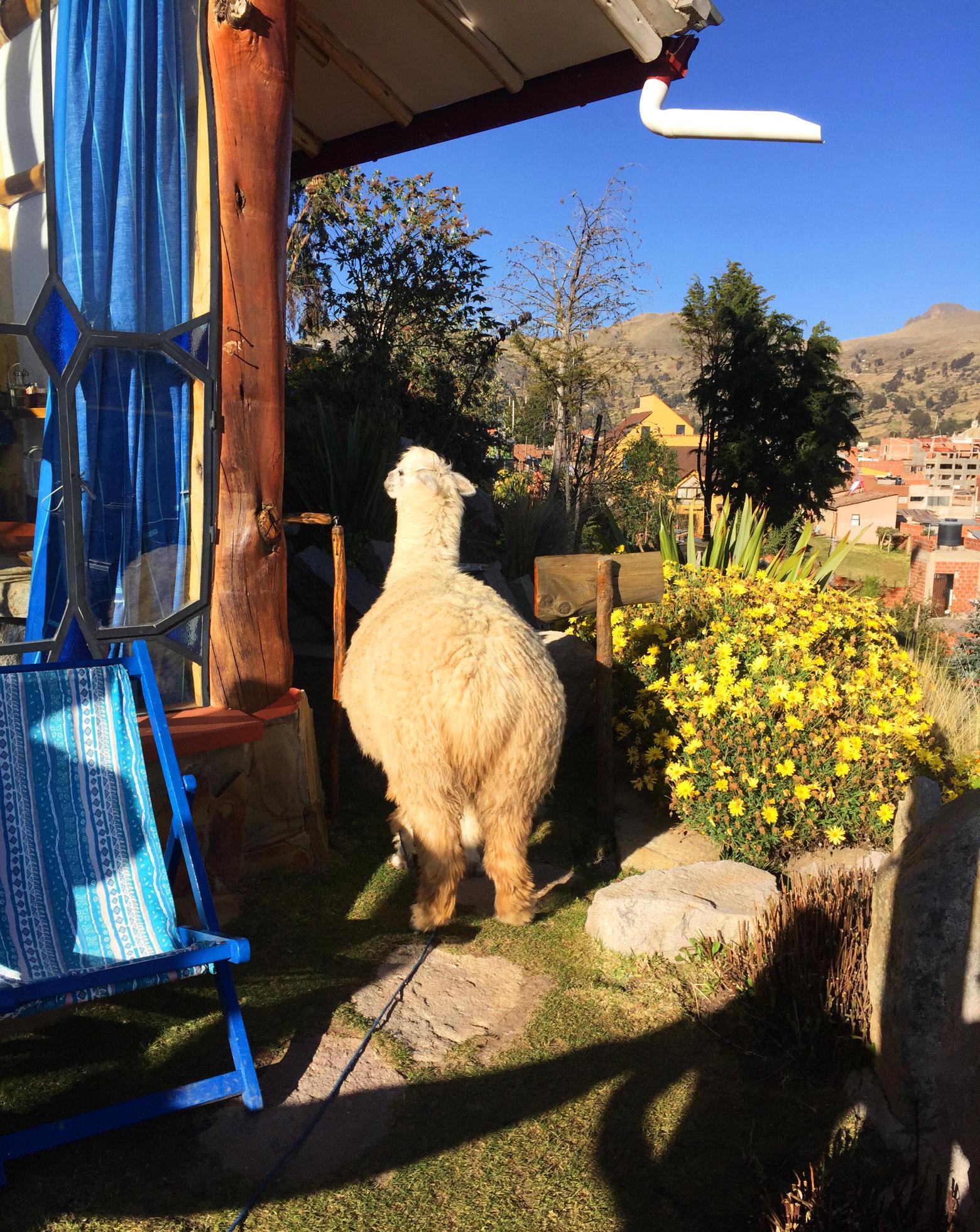 Bolivien Titicacasee Alpaka im Garten