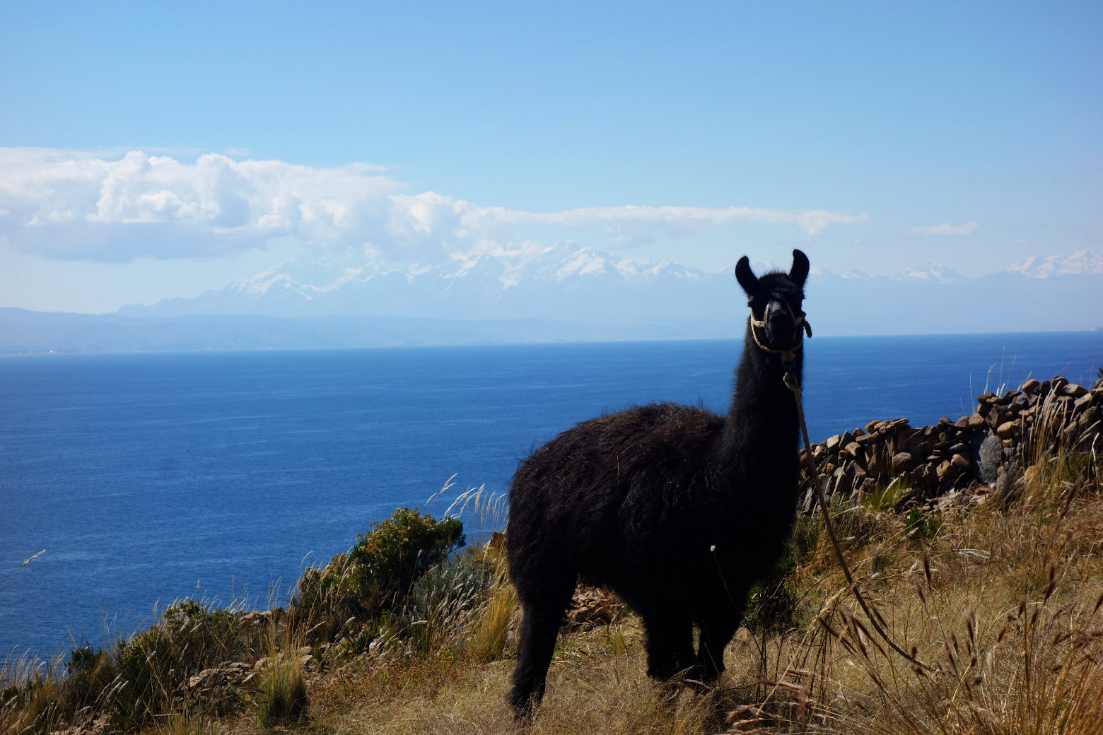Bolivien Titicacasee Alpaka