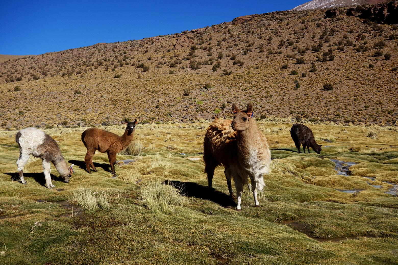 Bolivien Salar de Uyuni Lamas