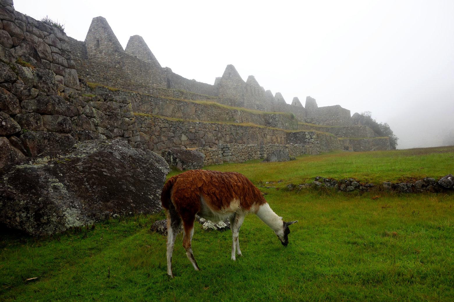 Machu Picchu Ruinen und Lama