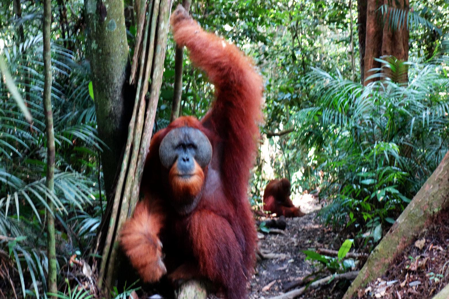 Orang Utan Mann mit Weibchen auf Weg