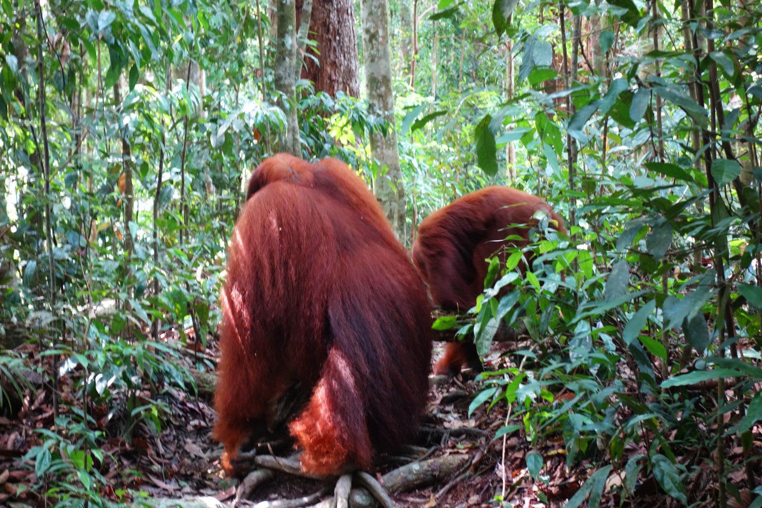 Orang Utans von hinten