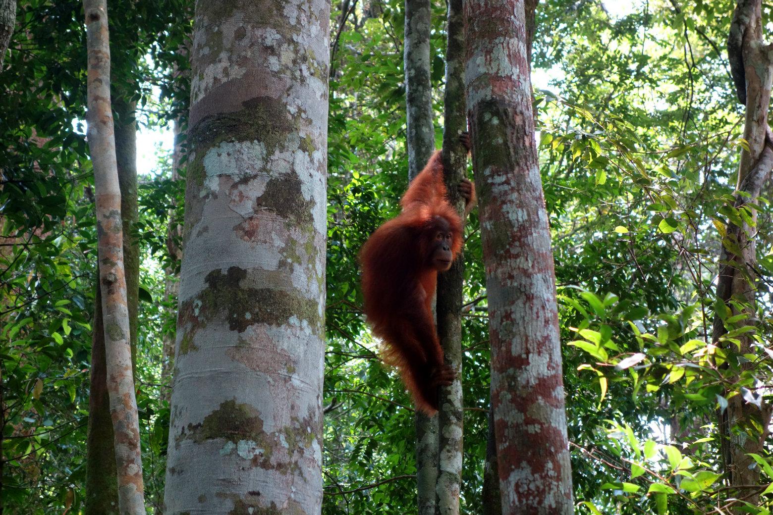 Orang Utan zwischen Bäumen