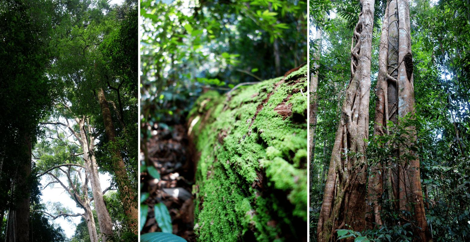 Bukit Lawang Bäume im Dschungel