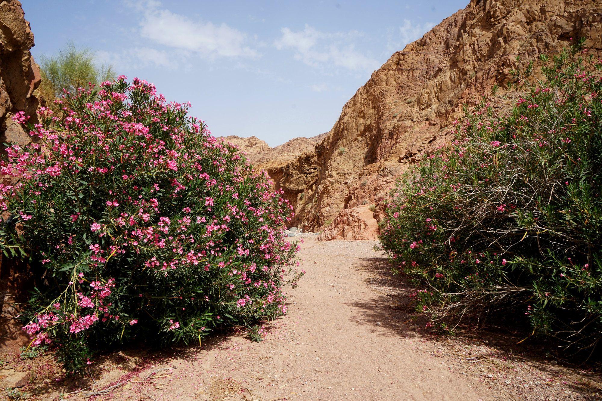 Dana Wüstenweg mit Blumen