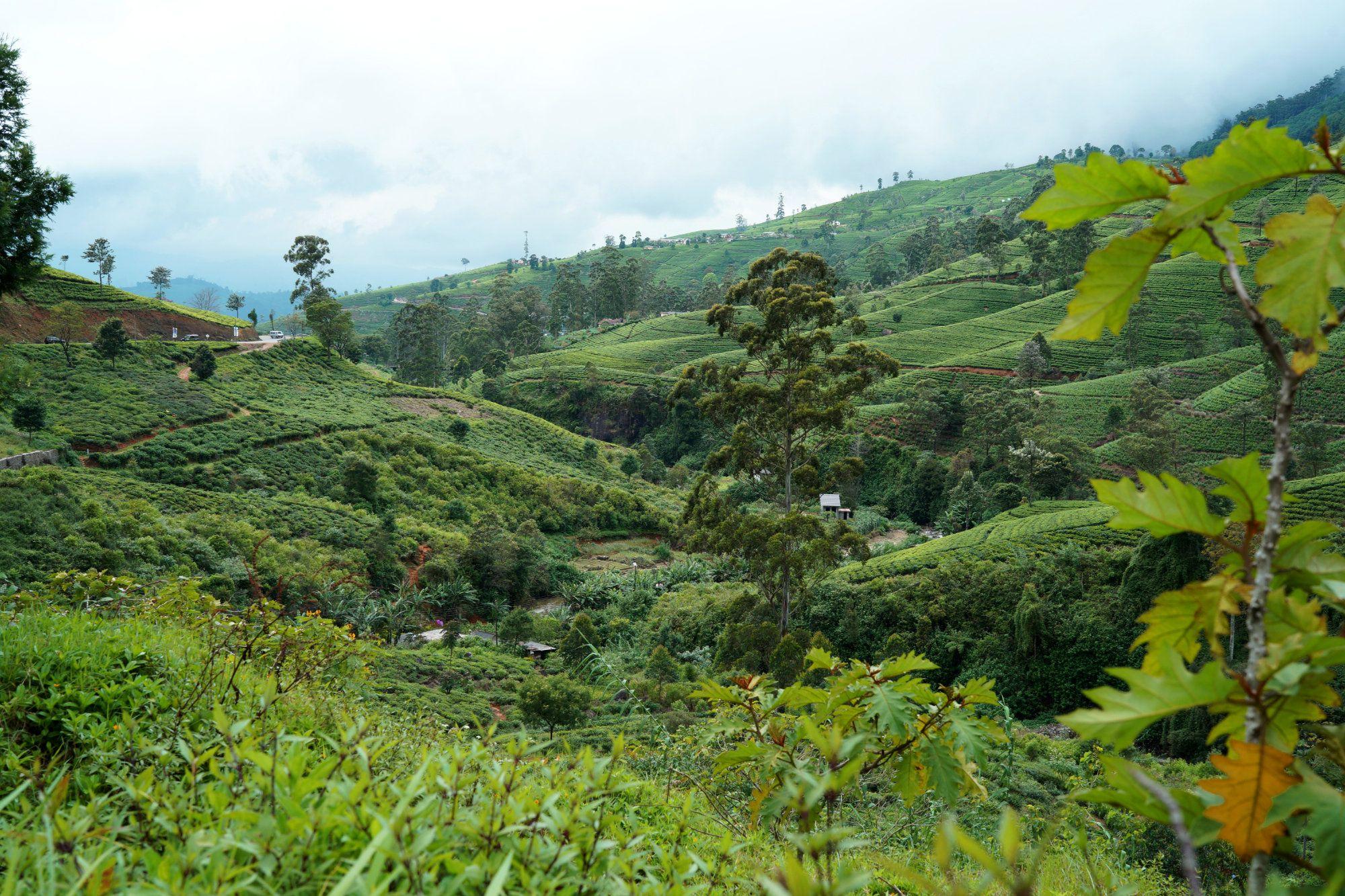 Nuwara Eliya Teeplantagen