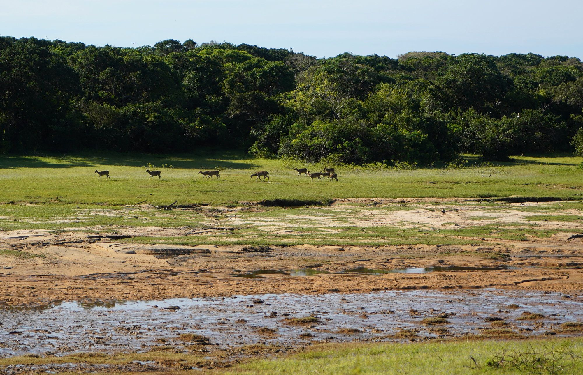 Yala Nationalpark Herde Rehe