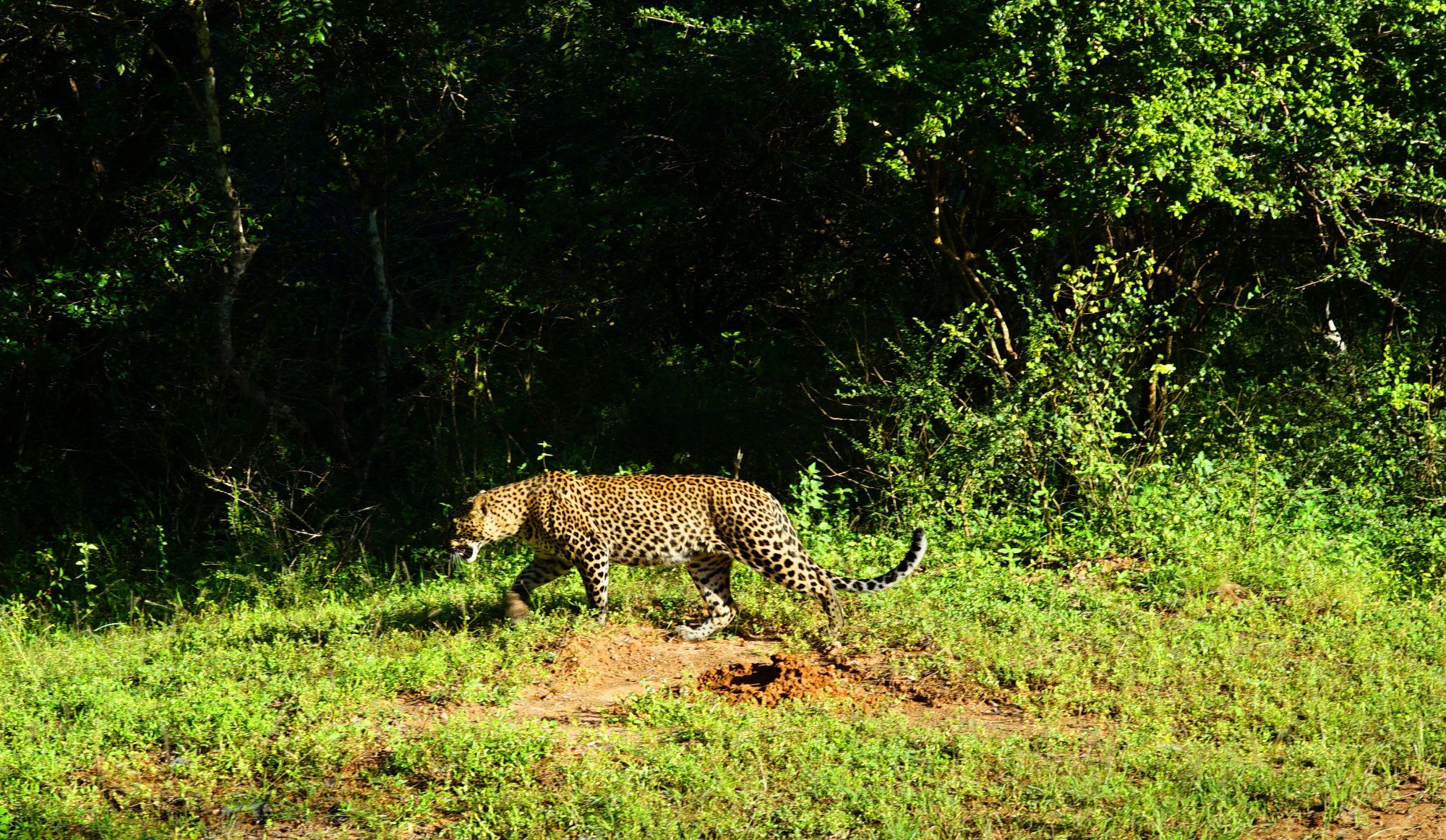 Yala Nationalpark Leopard läuft