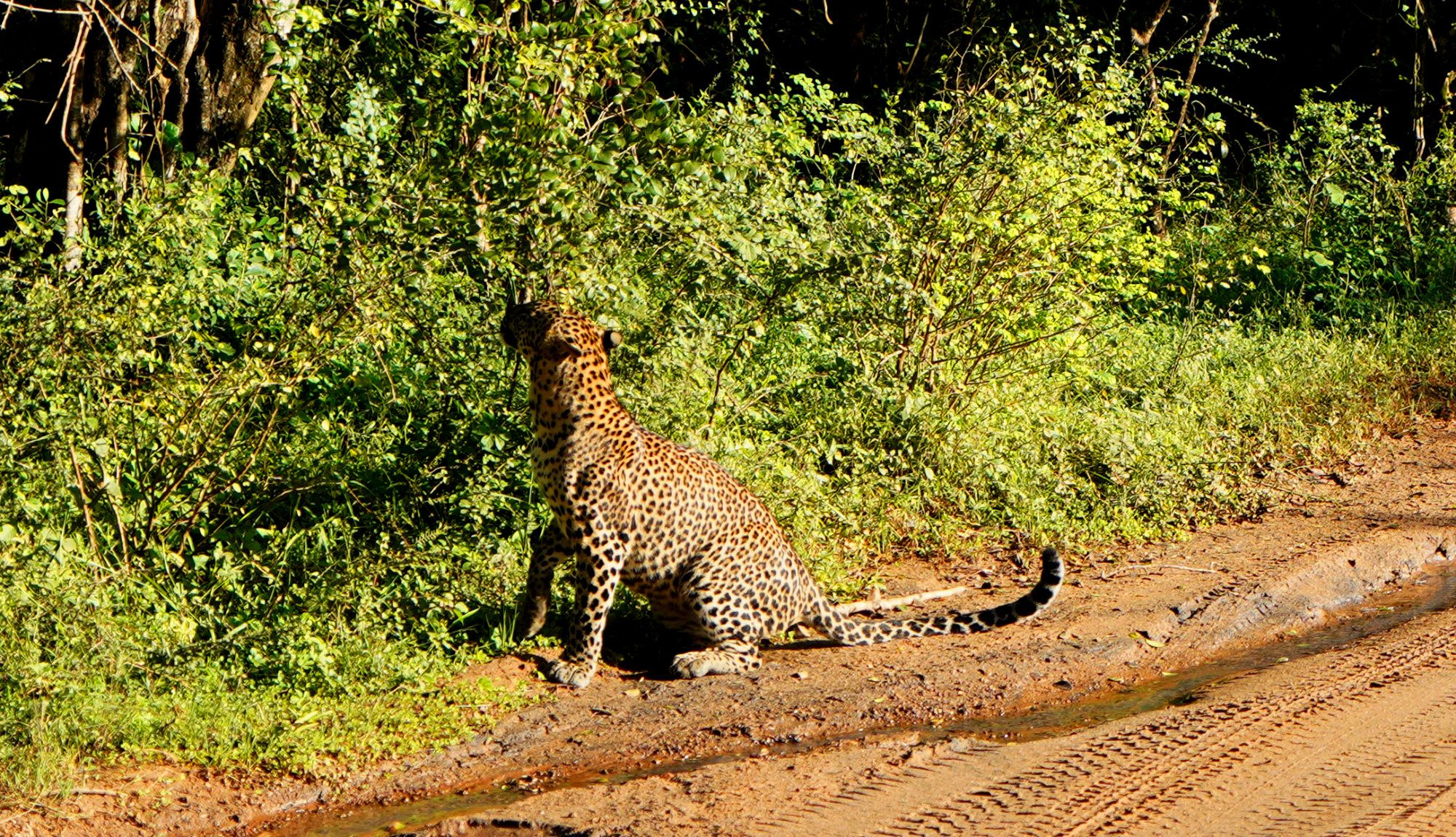 Yala Nationalpark Leopard sitzt