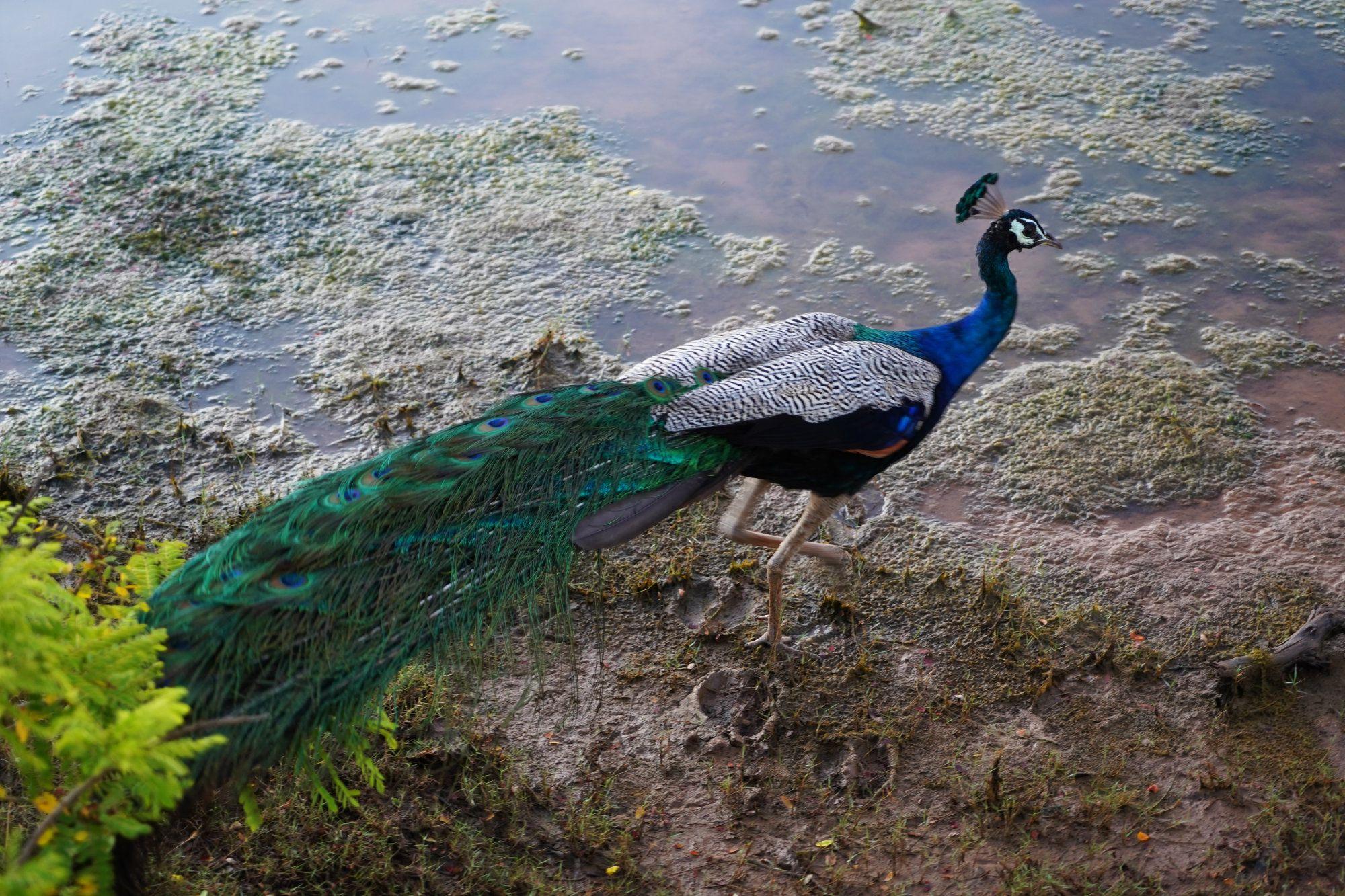 Yala Nationalpark Pfau laufend