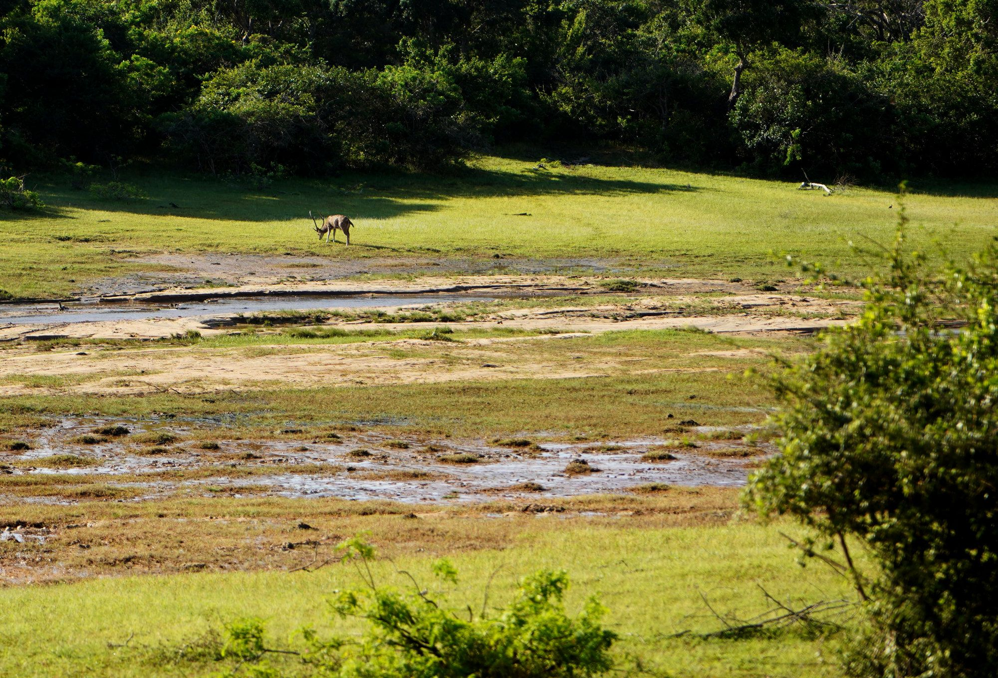 Yala Nationalpark Rehbock