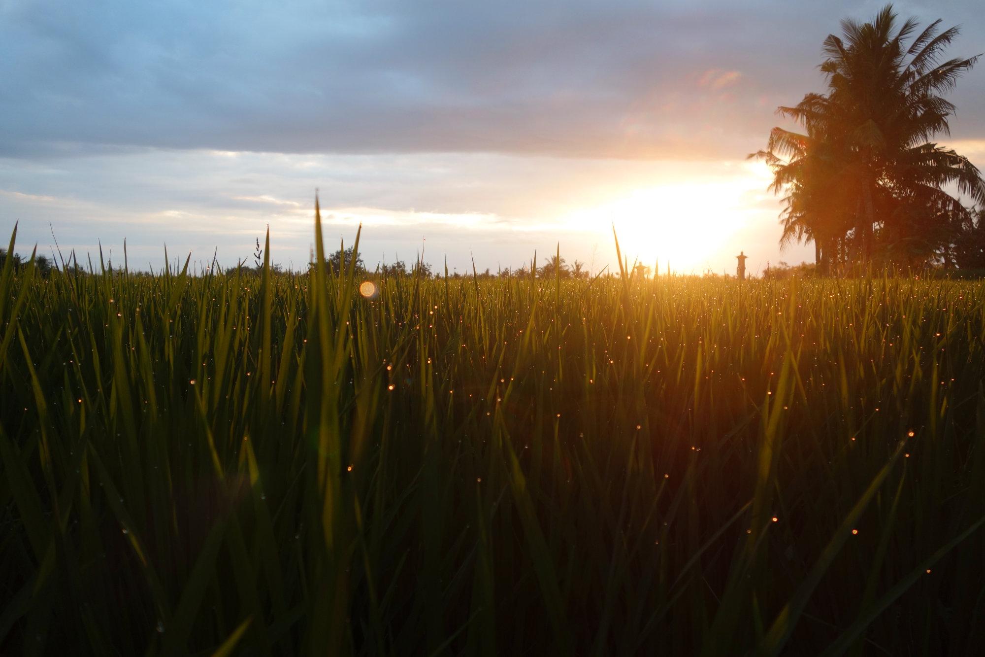 Bali Reisfeld Sonnenuntergang