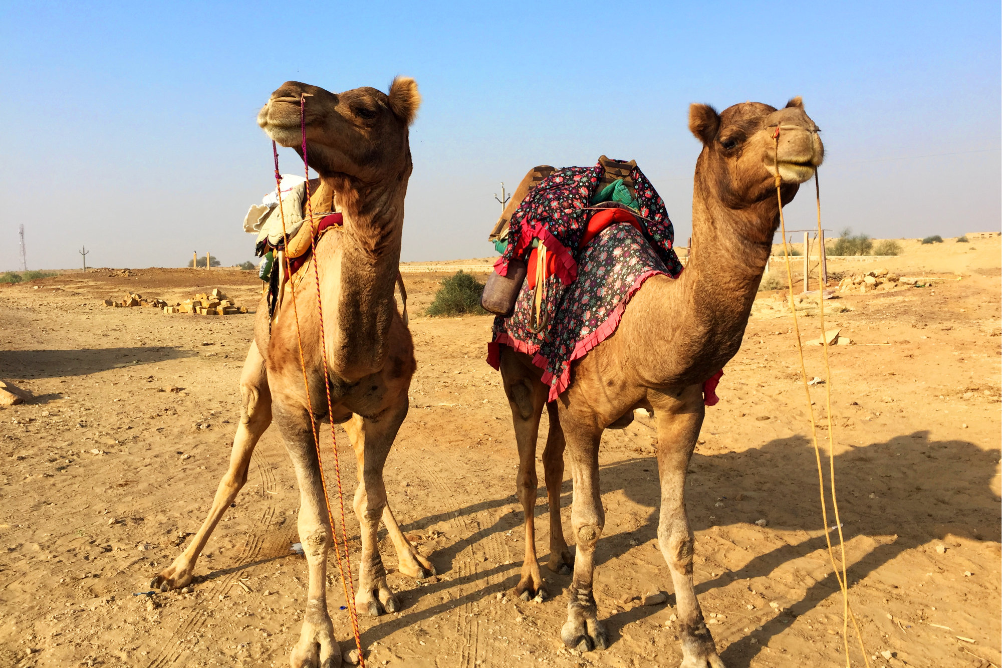 Jaisalmer Kamele