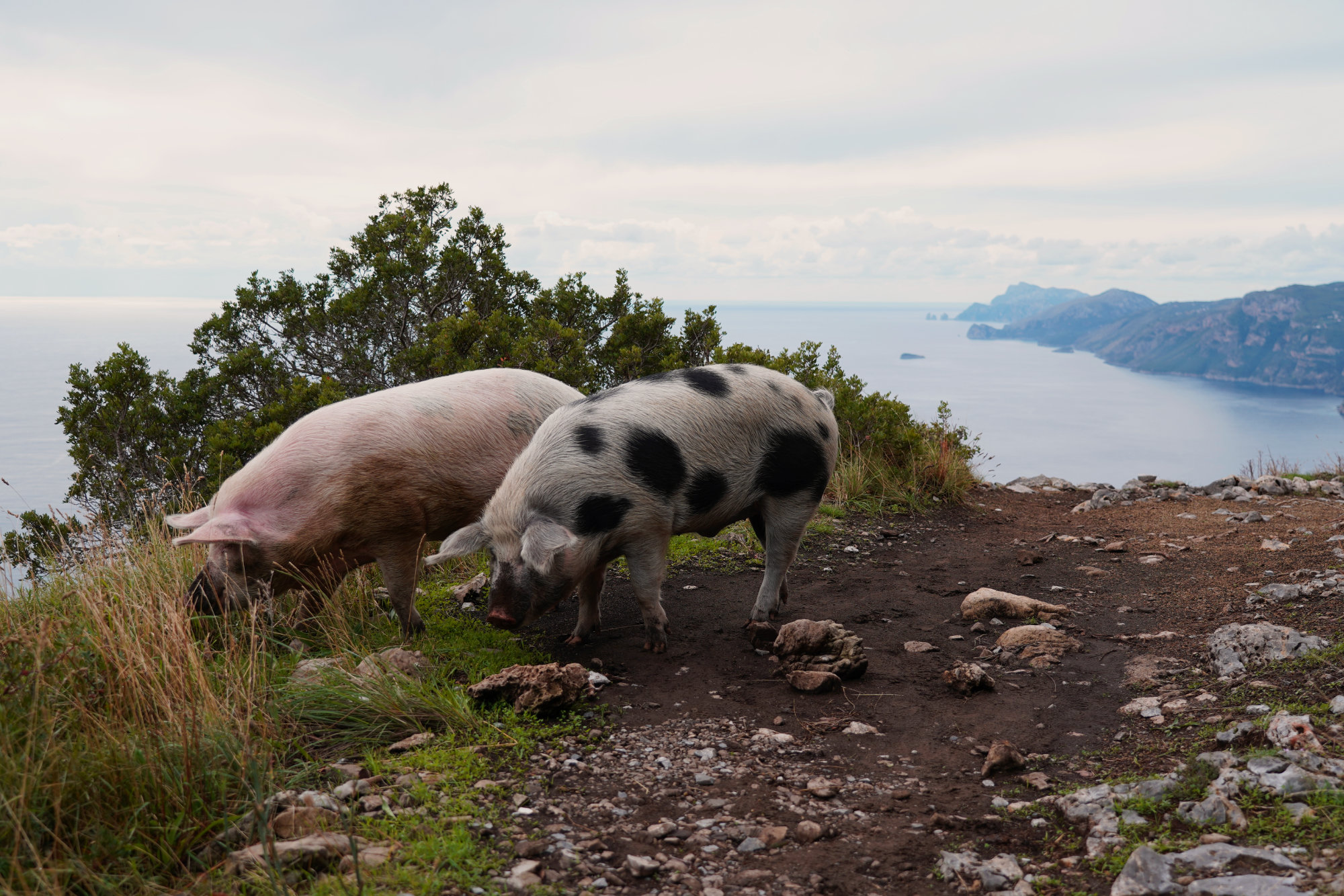 Amalfiküste Sentiero degli Dei Schweine