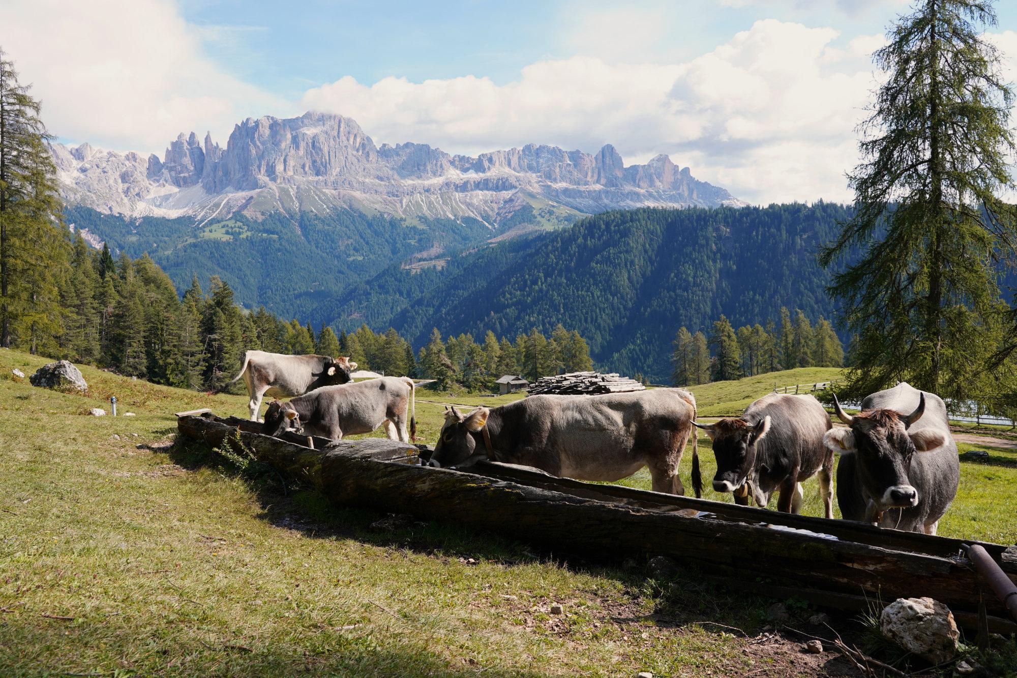 Rosengarten Wanderung Rosengarten Kühe